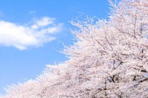 岡崎桜祭り2021