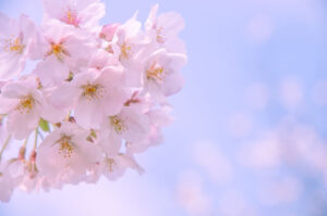 岡崎市 愛知県 桜 お花見